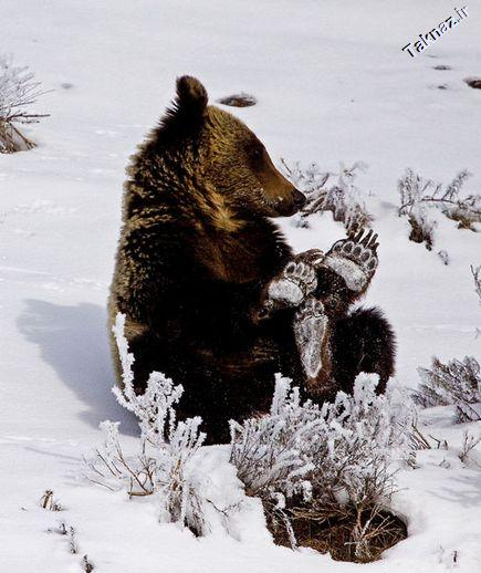 Photo: A young grizzly bear playing in the snow in Yellowstone