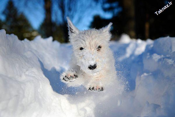 Photo: West Highland white terrier in the snow